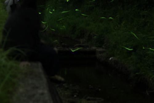 2015鳥川ホタル  (9)
