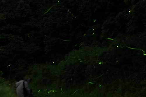 2015鳥川ホタル  (11)