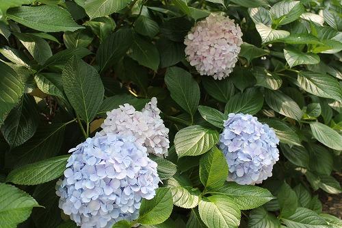2015名城公園アジサイ  (9)