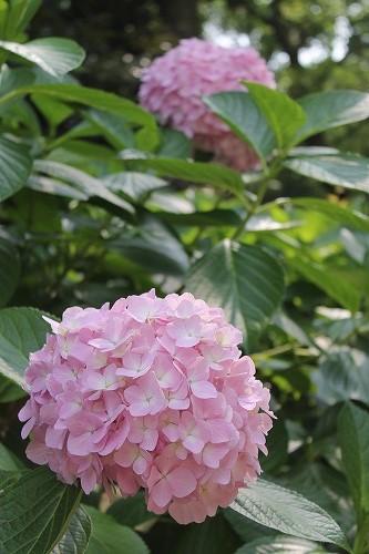 2015名城公園アジサイ  (13)