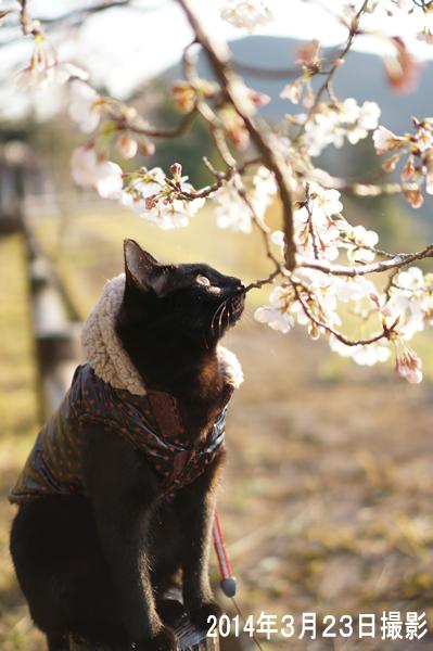 昨年ジジ桜