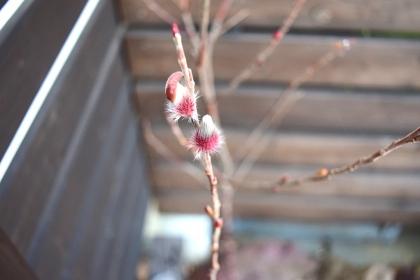 ピンクネコヤナギ 成長前