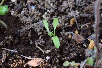 ニゲラ 冬発芽
