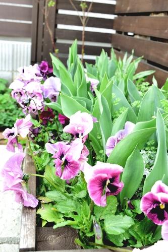 チューリップ 花壇