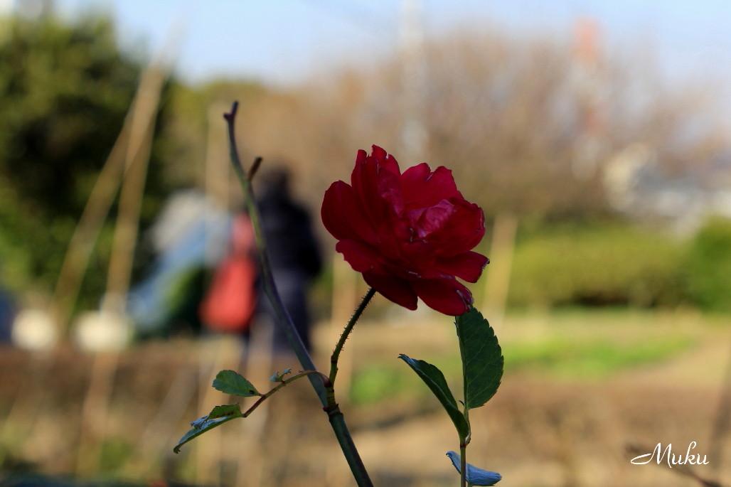 2014.12.28 冬薔薇 (神奈川県横須賀市)
