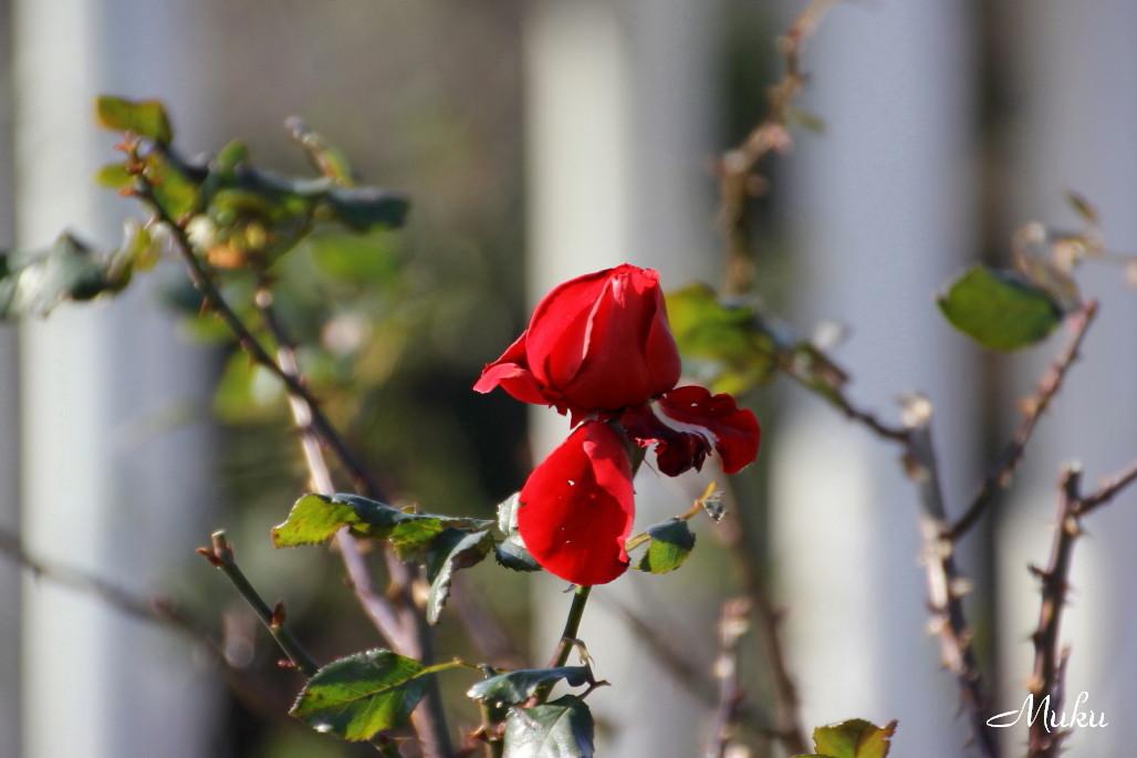 2014.12.28 冬薔薇 (ヴェルニー公園:神奈川県横須賀市)