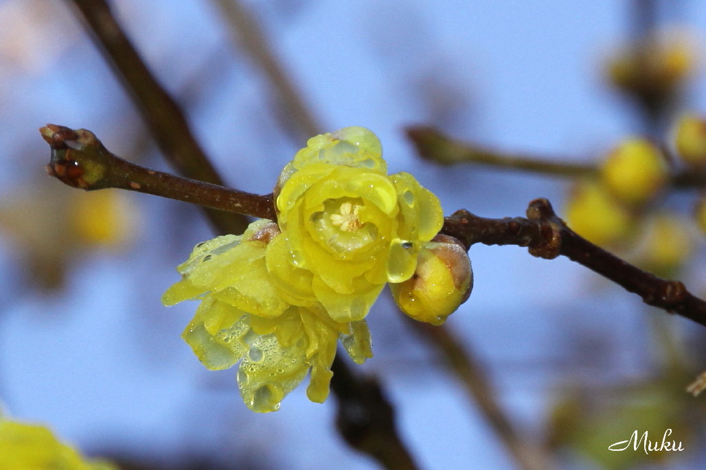 2014.12.30 蝋梅 (散歩道:神奈川県横須賀市)
