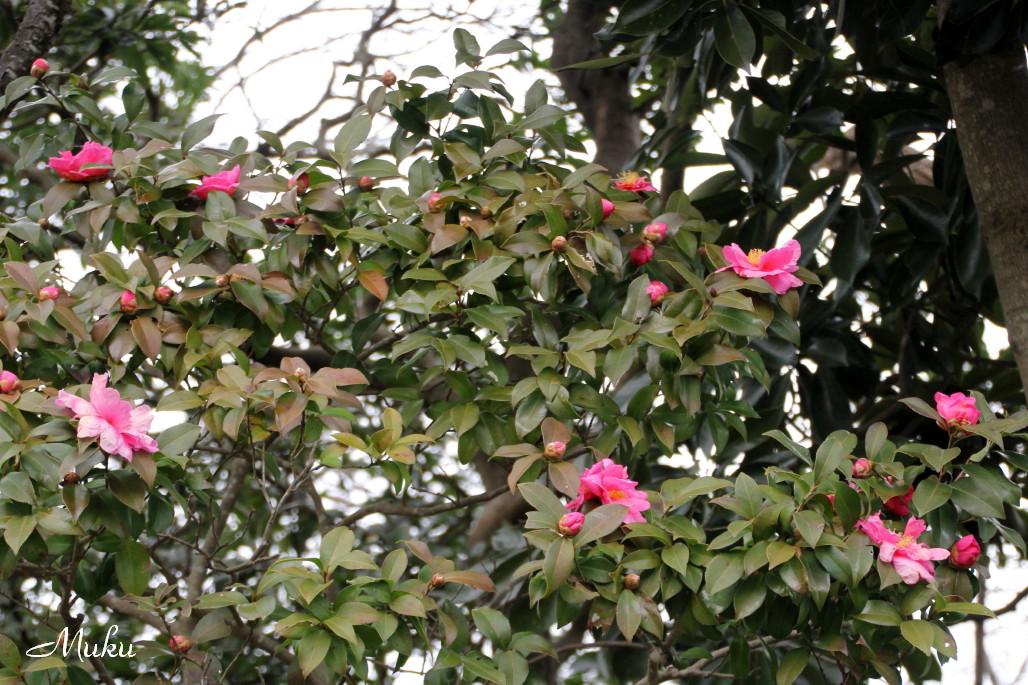 2015.1.14 冬椿 (くりはま花の国:神奈川県横須賀市)