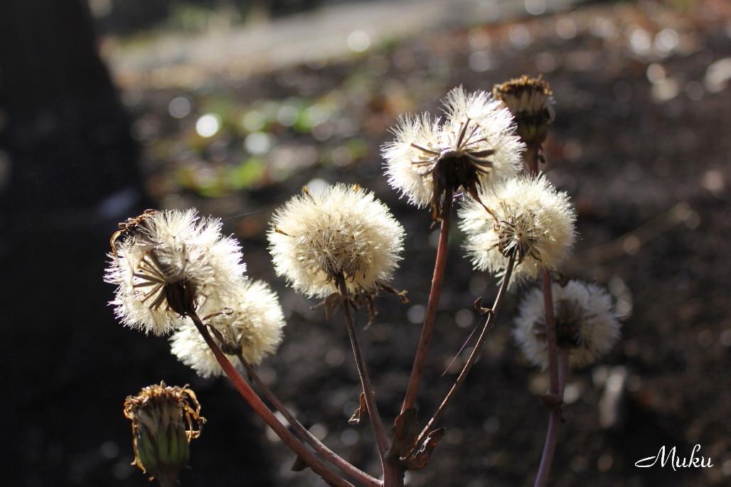 2015.1.18 枯れ石蕗 (衣笠山:神奈川県横須賀市)
