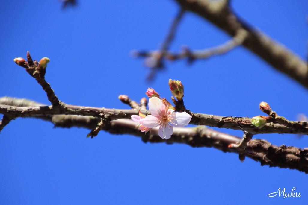 2015.1.18 河津桜 (衣笠:神奈川県横須賀市)