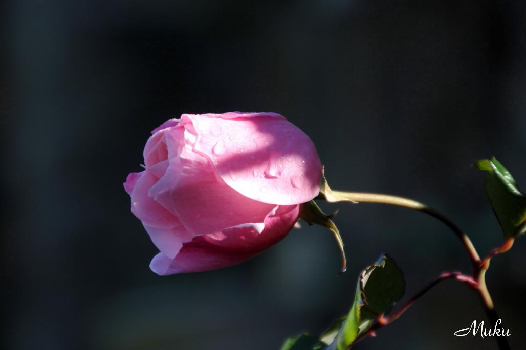 2014.12.31 薔薇 (散歩道:神奈川県横須賀市)