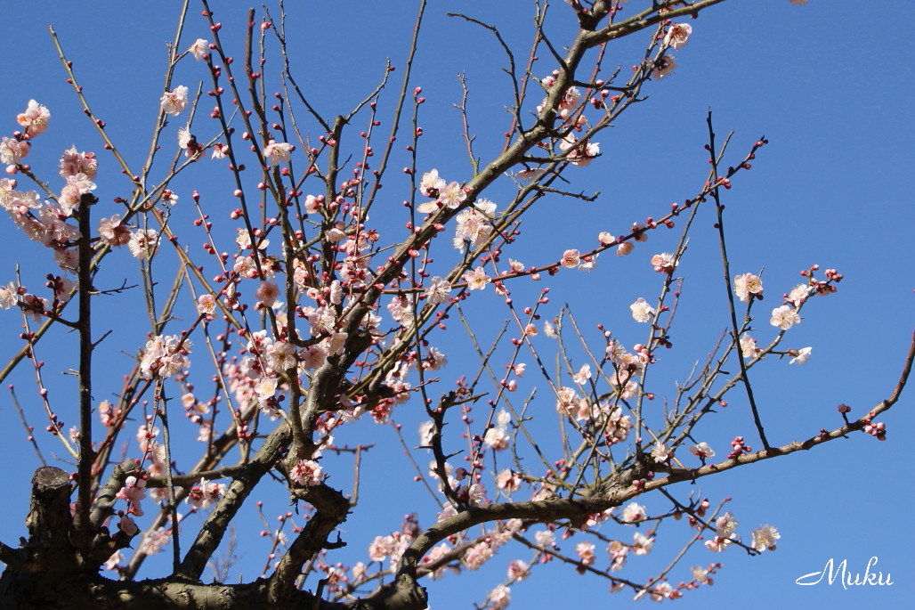 2015.2.1 白梅 (散歩道:神奈川県横須賀市)