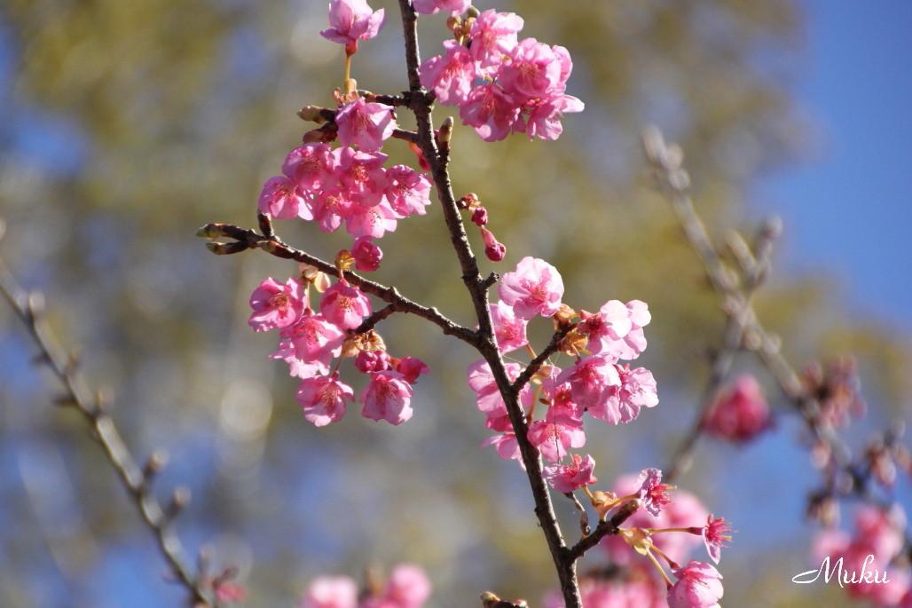 2015.2.1 紅梅 (散歩道:神奈川県横須賀市)
