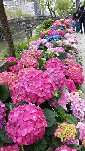 紫陽花まつり2015-1