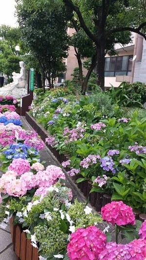紫陽花まつり2015-2