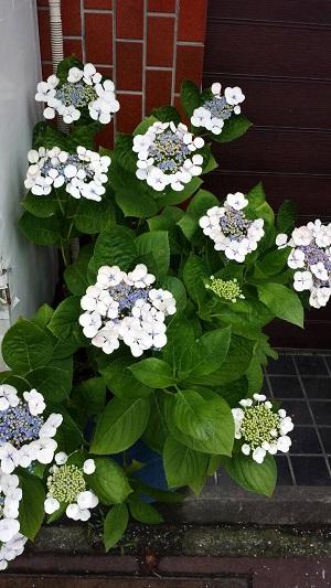 紫陽花まつり2015-5