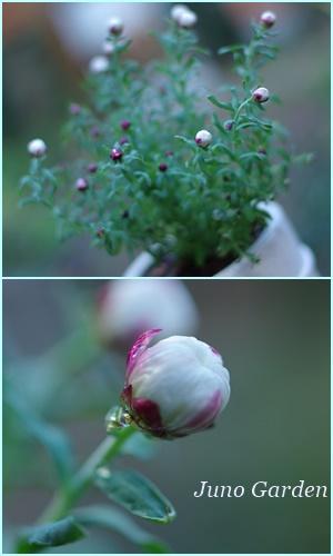 花かんざし150218