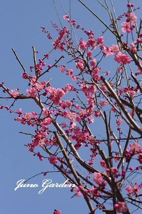 梅の花150312
