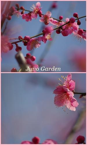 梅の花1503121