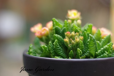 バラ咲きジュリアン150320