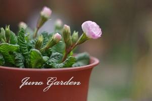ピンクばら咲きジュリアン150320