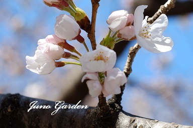高瀬川の桜150326