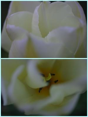 ホワイトチューリップ150328