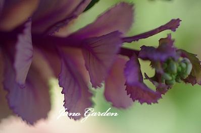葉牡丹蕾150328