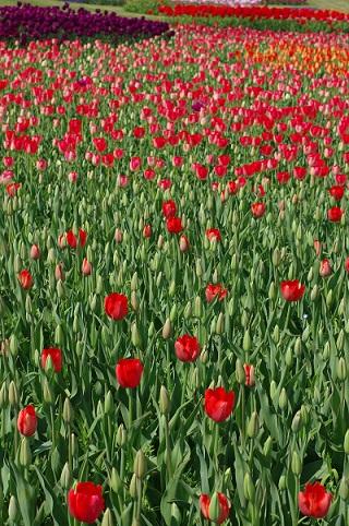 赤チューリップ150402