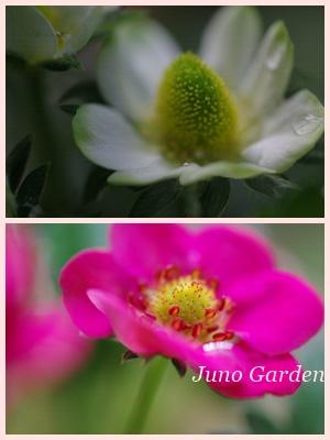 イチゴの花150410