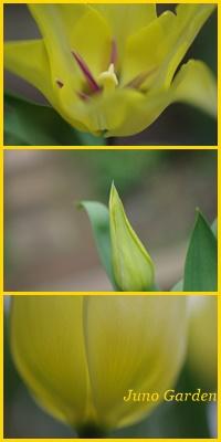 百合咲きチューリップ150412