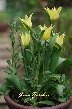 1ゆり咲きチューリップ150412