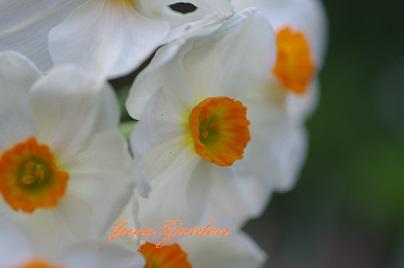 房咲き水仙150413
