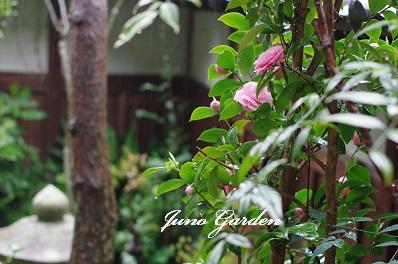中庭ピンク椿150414