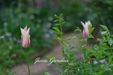 庭のチューリップ150417
