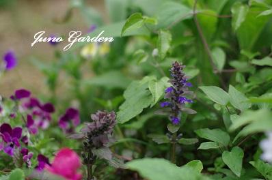庭のアジュガ150419