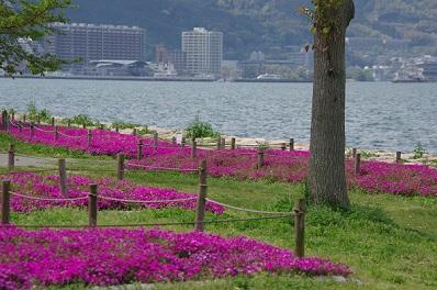 芝桜150422