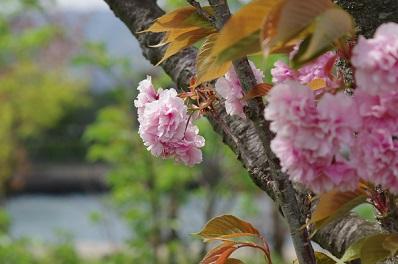 3八重桜150422
