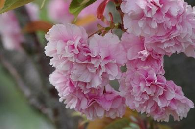 1八重桜15-423