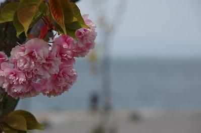 八重桜150422