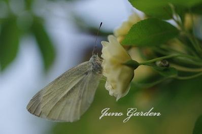 黄モッコウバラの蝶々150427