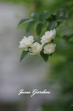 白モッコウバラ150429