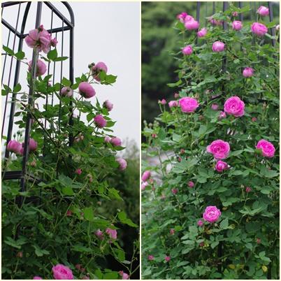 松尾園芸バラ150509