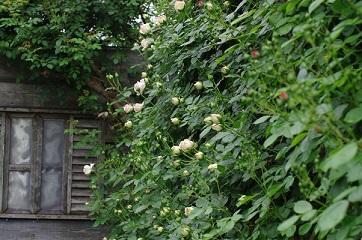 2松尾園芸バラ150509