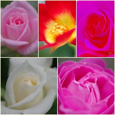 庭のバラ150512