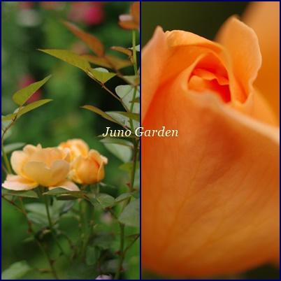 オレンジのバラ150524