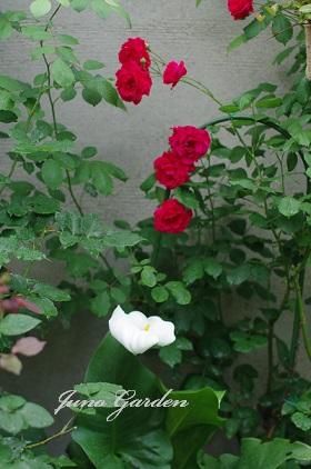 赤いバラ150524