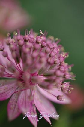 1ピンクの花150527