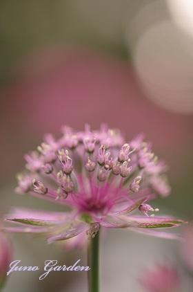 ピンクの花150527