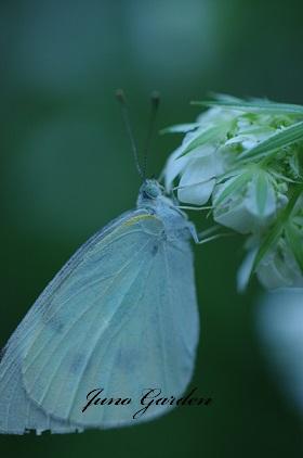 オルラヤに蝶々